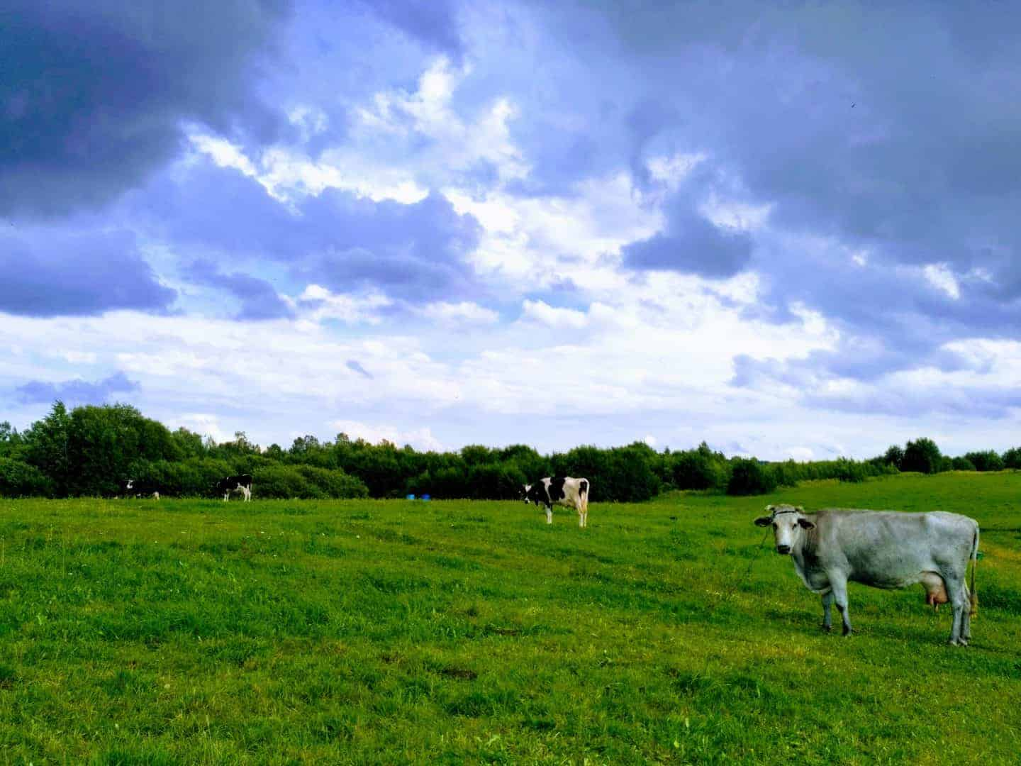 Cows in Lithuania